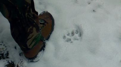 bear or lynx footprints in the snow